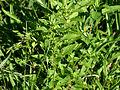 Acalypha rhomboidea 001 4x3.jpg