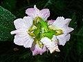 Acanthus montanus 003.JPG