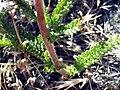 Achillea odorata LeavesandStemCloseup SierraNevada.jpg