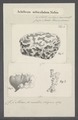 Achilleum orbiculatum - - Print - Iconographia Zoologica - Special Collections University of Amsterdam - UBAINV0274 112 03 0011.tif