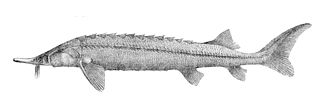Sterlet - Image: Acipenser ruthenus 3