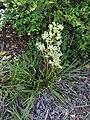 Aciphylla traversii kz01.jpg