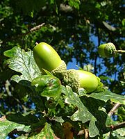 Acorns of Sessile Oak
