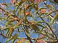 Acrocarpus fraxinifolious 01.JPG