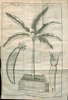 Un'illustrazione dagli Acta Eruditorum del 1734 raffigurante pianta e frutto del banano