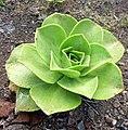 Aeonium nobile kz1.JPG