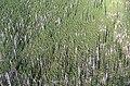Aerial of Lodgeploe pine forest (1c41bdf4-cbf5-4ace-85ac-0b29f5f83be7).jpg