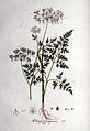 Aethusa cynapium — Flora Batava — Volume v1.jpg