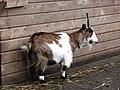 African Pygmy Goat - geograph.org.uk - 629846.jpg