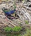 African Swamphen (Porphyrio madagascariensis) (46714168022).jpg