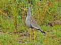 African Wattled Lapwing (Vanellus senegallus) (7035170761).jpg