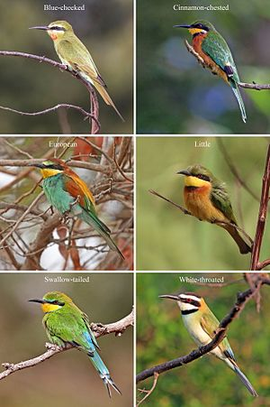 Bee-eater - Six common African bee-eaters