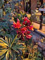 African corn Lilies.jpg