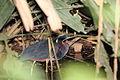 Agami Heron (Agamia agami) (5771813067).jpg