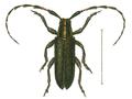 Agapanthia cynarae.png