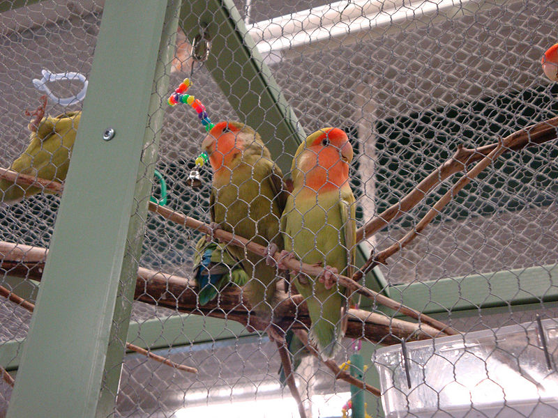 File:Agapornis roseicollis -two in aviary-8a.jpg