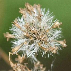 Ageratina altissima SCA-6162.jpg