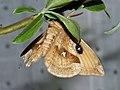 Aglia tau ♂ - Tau Emperor (male) - Павлиноглазка рыжая (самец) (41189370992).jpg