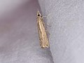 Agriphila geniculea (36277042463).jpg