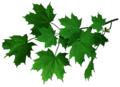 Ahorn Foliage.png