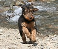 Airedale Terrier puppy 3.jpg