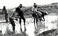 Alam Chatterjee and Algerian Workers Transplant Rice, Algeria, circa 1971 (13875627813).jpg