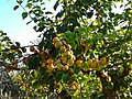 Albicocche di mia coltivazione - Apricots of my cultivation.jpg