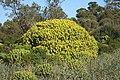 Alcúdia - Cami de Manresa - Euphorbia dendroides 05 ies.jpg
