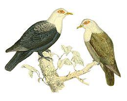 Alectroenas sganzini 1868