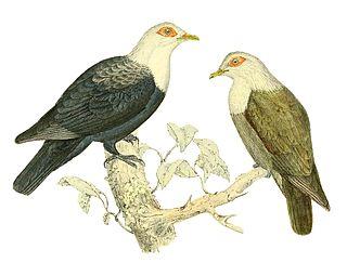 Comoros blue pigeon Species of bird