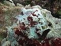 Algue corallinale à déterminer - 4.jpg