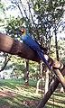 Alice, mascote da cidade - Cosmópolis - SP - panoramio.jpg