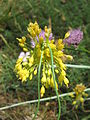 Allium flavum03.jpg