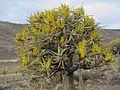 Aloe dichotoma02.jpg
