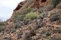 Aloe microstigma (Asphodelaceae Xanthorrhoeaceae) and Crassula rupestris var. rupestris (Crassulaceae) in habitat (39833016424).jpg