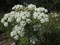 Alpen-Kälberkropf (Chaerophyllum villarsii) - Brecherspitz (9965578125).jpg