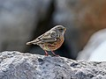 Alpine Accentor (Prunella collaris) (31808031587).jpg