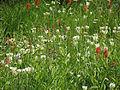 Alpine Meadow (15220815432).jpg