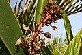 Alpinia zerumbet 34zz.jpg