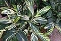 Alpinia zerumbet 9zz.jpg