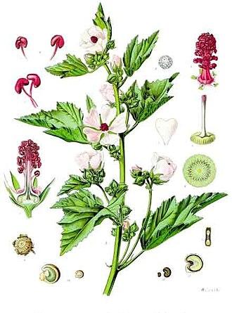 Althaea officinalis - Image: Althaea officinalis Köhler–s Medizinal Pflanzen 008