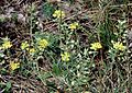 Alyssum montanum ssp montanum1 eF.jpg