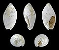 Amalda glandiformis 01.JPG