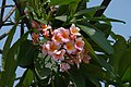 Amancayo - Frangipán - Azuceno (Plumeria rubra fo. rubra) - Flickr - Alejandro Bayer.jpg