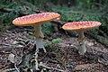 Amanita muscaria (44554963130).jpg