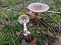 Amanita porphyria ts1.jpg