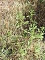 Amaranthus albus kz03.jpg