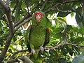 Amazona pretrei -Rio Grande do Sul -Brazil-8b.jpg