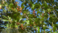 American-Holly (2883698098).png