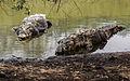 American crocodyle la manzanilla 01.jpg